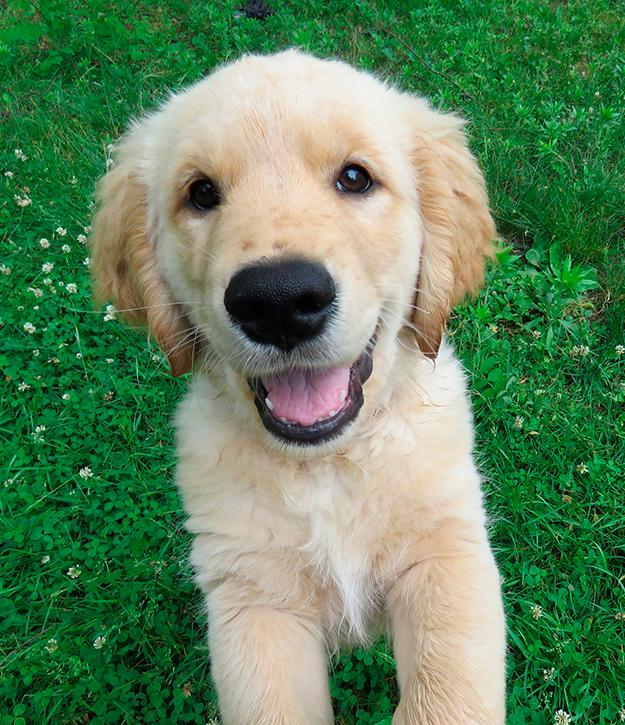 Perro Golden Retriever: ¿cómo son y qué deben comer? - Cuidados y consejos para educarlo y adiestrarlo 14