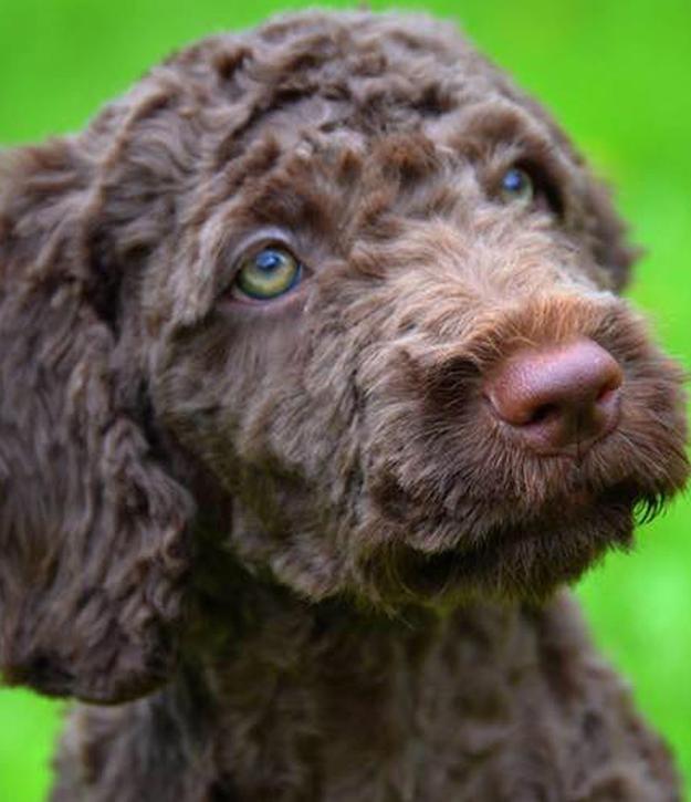 Perro de Agua Español: todo sobre la alimentación, temperamento y otras características 11