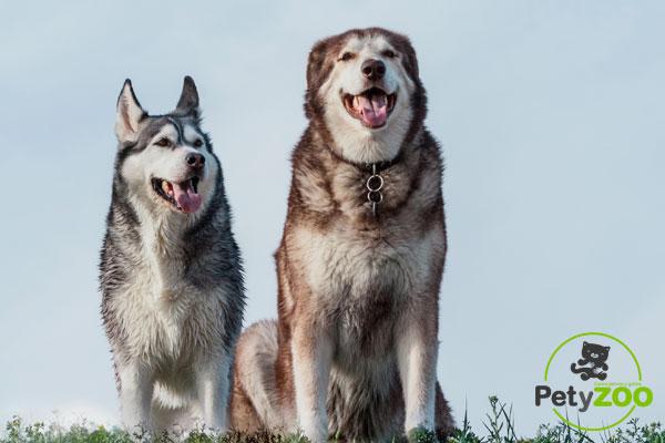 Diferencias entre un Husky Siberiano y un Alaskan Malamute 3