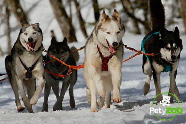 Diferencias entre un Husky Siberiano y un Alaskan Malamute 1