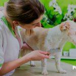 ¿Cómo elimino las pulgas en mi mascota? (Soluciones – Prevención – Causas)
