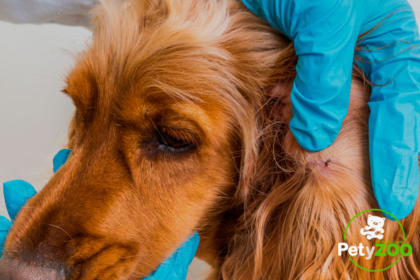 ¿Cómo elimino las pulgas en mi mascota? (Soluciones - Prevención - Causas) 3
