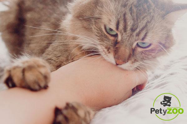 ¿Por qué mi gato me muerde? Causas y formas de solucionarlo 1