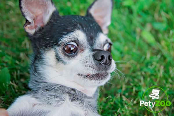 ¿Es peligroso castrar a mi perro? ⚠🐶 3