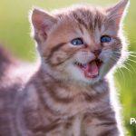 Los 10 sonidos más significativos de los gatos