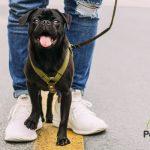 4 beneficios principales de las razas de perros pequeñas