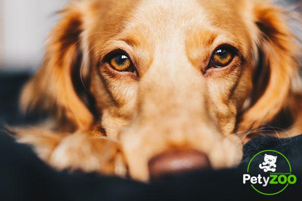 Consejos para limpiar los ojos de los perros