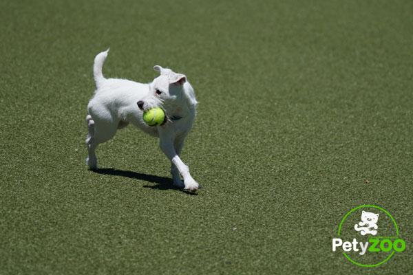 Perros con sobrepeso: hacer ejercicio
