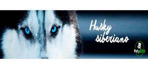 Husky Siberiano Cuidados