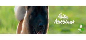 perro Akita Americano