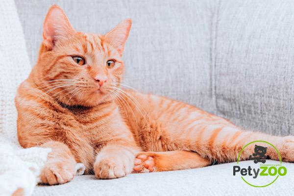 Cómo proteger el sofá de los gatos 1